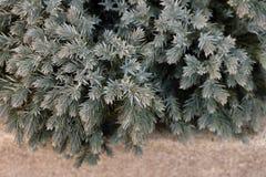 Малый вечнозеленый куст Стоковая Фотография RF