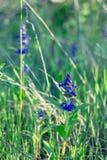 Малый голубой цветок поля Стоковое Изображение RF