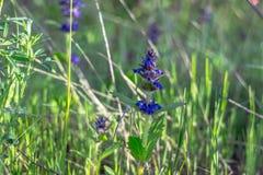 Малый голубой цветок поля Стоковые Фото