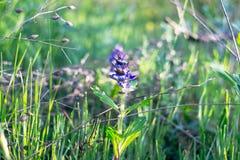 Малый голубой цветок поля Стоковое Изображение