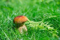 Малый гриб в луге Стоковое Фото