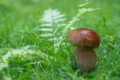 Малый гриб в луге Стоковая Фотография RF
