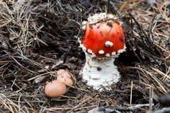 Малый гриб пластинчатого гриба мухы Стоковое Изображение