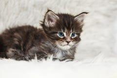 Малый енот Мейна с голубыми глазами Стоковое Изображение