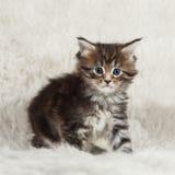 Малый енот Мейна siiting на белизне Стоковые Фото