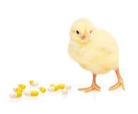 Малый желтый цыпленок около пилюльки от кучи капсул Стоковая Фотография RF