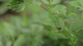 Малый жук на листьях акции видеоматериалы