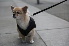 Малый ждать поводка собаки внешний Стоковые Изображения RF