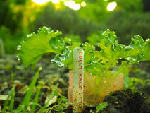 Малый завод курчавой листовой капусты растя в vegetable заплате Стоковое фото RF