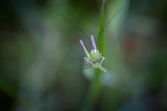 Малый зеленый кузнечик на траве Стоковая Фотография RF