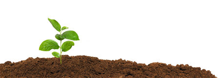 Малый зеленый саженец в изолированной земле, Стоковые Изображения RF