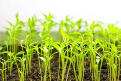 Малый зеленый саженец томата Стоковые Фото