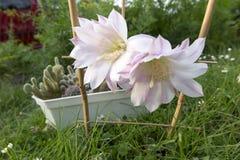 Малый кактус с 2 розовыми цветками Стоковое Изображение RF