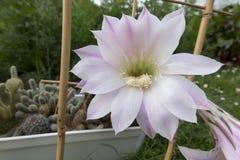 Малый кактус с 2 розовыми цветками Стоковое Изображение