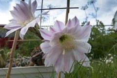 Малый кактус с 2 розовыми цветками Стоковая Фотография RF