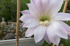 Малый кактус с 2 розовыми цветками Стоковые Фотографии RF