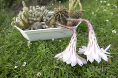 Малый кактус с 2 розовыми цветками Стоковое Фото