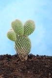 Малый кактус Стоковые Изображения RF