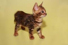 Малый котенок Бенгалии на желтой предпосылке стоковые изображения
