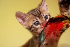 Малый котенок Бенгалии охотится его игрушка стоковая фотография rf