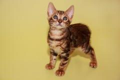 Малый котенок Бенгалии смотря камеру стоковые изображения rf