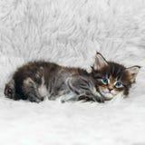 Малый котенок енота Мейна на белом мехе предпосылки Стоковые Изображения RF