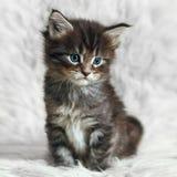 Малый котенок енота Мейна на белом мехе предпосылки Стоковые Изображения
