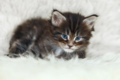 Малый котенок енота Мейна при голубые глазы представляя на белом backgroun Стоковые Изображения RF