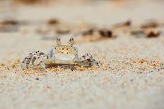 Малый краб на конце песка пляжа вверх стоковое фото rf
