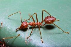 Малый красный муравей на дереве в саде Стоковые Изображения RF