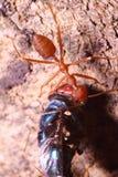 Малый красный муравей на дереве в саде Стоковые Фотографии RF