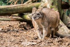 Малый красный necked wallaby Стоковые Изображения RF