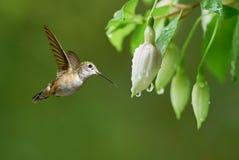 Малый красочный колибри с радужными пер Стоковое Изображение