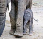 Малый младенец африканского слона Стоковое Изображение