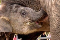 Малый младенец слона, живая природа, млекопитающие стоковые фотографии rf