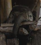 Малый младенец слона, живая природа, млекопитающие Стоковое фото RF