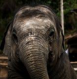 Малый младенец слона, живая природа, млекопитающие Стоковые Изображения
