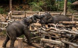 Малый младенец слона, живая природа, млекопитающие Стоковая Фотография RF