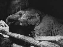 Малый младенец слона, живая природа, млекопитающие Стоковое Изображение