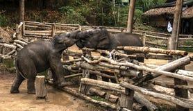 Малый младенец слона, живая природа, млекопитающие Стоковое Фото