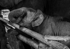 Малый младенец слона, живая природа, млекопитающие Стоковые Изображения RF