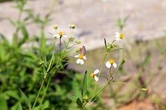 Малый окунь бабочки насекомого на цветке маргаритки Стоковые Фото