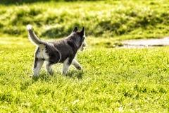 Малый осиплый взгляд задней части щенка Стоковое Изображение RF