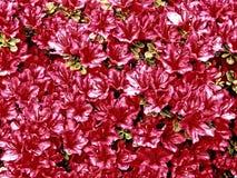 Малый пинк цветет предпосылка Стоковое фото RF