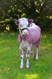 Малый покрашенный бык Стоковые Изображения