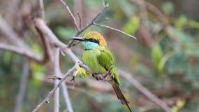 Малый попугай на ветви Стоковые Фотографии RF