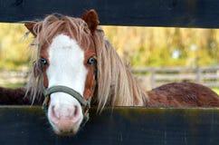 Малый портрет лошади пони Стоковое Изображение