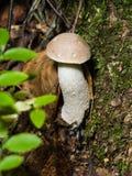 Малый подосиновик edulis, король Bolete гриба в макросе мха Стоковая Фотография