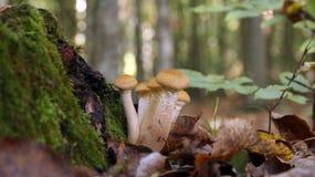 Малый пластинчатый гриб меда крапивницы Стоковые Фото
