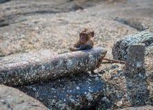 Малый пляж Таиланд Hua Hin обезьяны Стоковые Фотографии RF
